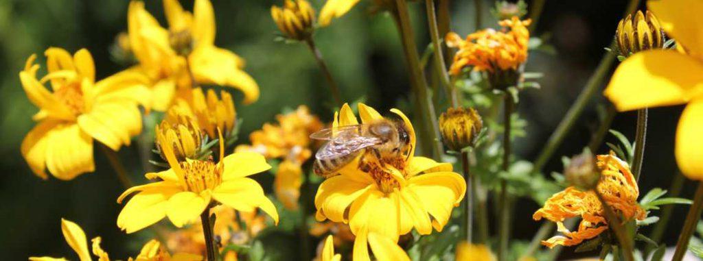 Biene an der blüte beim sammeln von Nektar