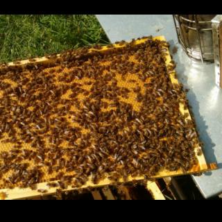 verdeckelte Brutwabe aus einem Bienenvolk