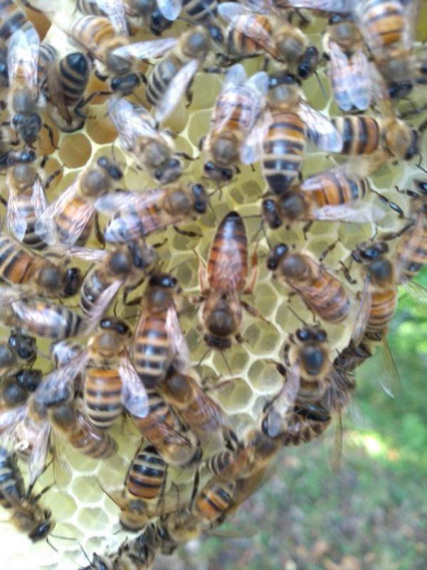 Junge Carnica Bienenkönigin kaufen