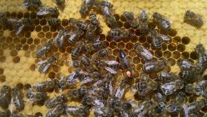 Bienenkönigin auf Wabe