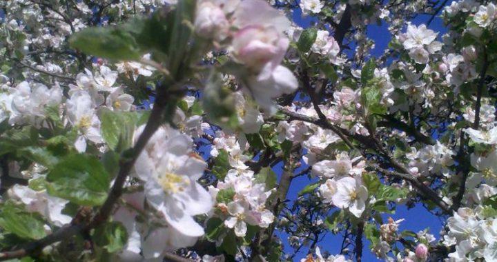 Blütenzauber Blütenhonig aus der Obstbaumblüte
